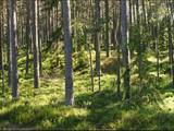 Лес,  Кулдига и р-он Румбская вол., Фото