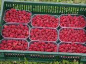 Lauksaimniecība Sēklas un stādi, cena 0.35 €, Foto