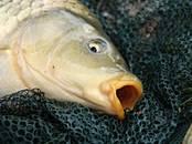 Zivju rūpniecība Dzīvas zivis, zivju mazuļi, cena 2.20 €, Foto