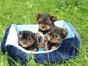 Suņi, kucēni Sapārošana, cena 60 €, Foto
