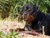 Suņi, kucēni Rotveilers, cena 400 €, Foto