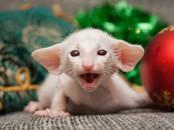 Kaķi, kaķēni Siāmas, cena 550 €, Foto