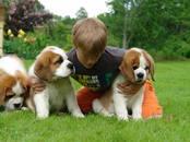 Собаки, щенки Сенбернар, цена 1 000 €, Фото