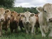 Lopkopība,  Lauksaimniecības dzīvnieki Liellopi, Foto