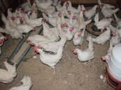 Птицеводство Куры, цена 4.50 €, Фото