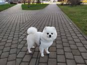 Собаки, щенки Спаривание, цена 100 €, Фото