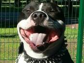 Dogs, puppies American bully, price 123 €, Photo