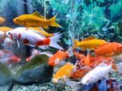 Zivju rūpniecība Dzīvas zivis, zivju mazuļi, cena 3 €, Foto