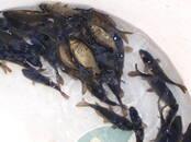 Рыбное хозяйство Рыба живая, мальки, цена 0.30 €, Фото