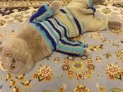 Kaķi, kaķēni Skotijas nokareno ausu, cena 50 €, Foto