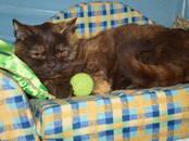Кошки, котята Британская короткошерстная, цена 200 €, Фото