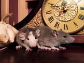 Грызуны Домашние крысы, цена 3 €, Фото
