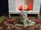 Кошки, котята Шотландская короткошерстная, цена 150 €, Фото