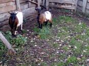 Животноводство,  Сельхоз животные Козы, цена 120 €, Фото