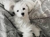 Dogs, puppies Bichon Maltais, price 300 €, Photo