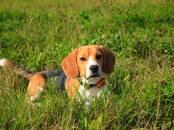 Собаки, щенки Бигль, цена 1.50 €, Фото