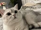 Кошки, котята Британская короткошерстная, цена 100 €, Фото