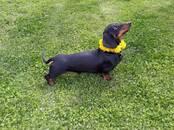 Dogs, puppies Dachshund Kaninchen Kurzhaar, price 5 €, Photo