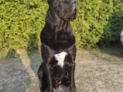 Suņi, kucēni Kane korso, cena 500 €, Foto