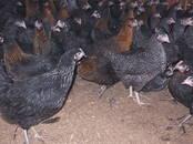 Птицеводство Куры, цена 7.50 €, Фото