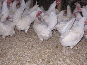 Aviculture Hens, price 3.50 €, Photo