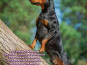 Suņi, kucēni Pundurpinčers, cena 650 €, Foto