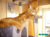 Cats, kittens Maine coon, Photo