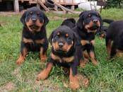 Dogs, puppies Rottweiler, price 450 €, Photo