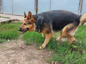 Dogs, puppies Outbred, price 3 €, Photo