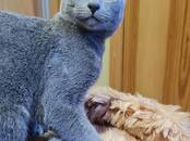 Cats, kittens Russian blue, price 520 €, Photo