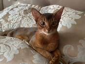 Cats, kittens Abyssinian, price 700 €, Photo