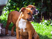 Dogs, puppies American bully, price 1 000 €, Photo