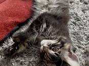 Cats, kittens Maine coon, price 800 €, Photo