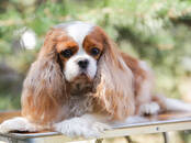Dogs, puppies Cavalier King Charles Spaniel, price 1 200 €, Photo