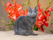 Cats, kittens Russian blue, price 700 €, Photo