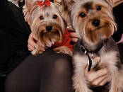 Dogs, puppies Yorkshire Terrier, price 400 €, Photo