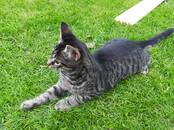 Cats, kittens Outbred, price 5 €, Photo