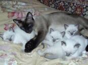 Cats, kittens Siamese, price 80 €, Photo