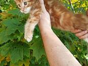 Cats, kittens Maine coon, price 450 €, Photo