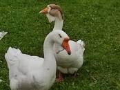 Aviculture Geese, price 50 €, Photo